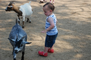 Toddler and goats